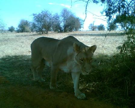 Leijona Afrikassa
